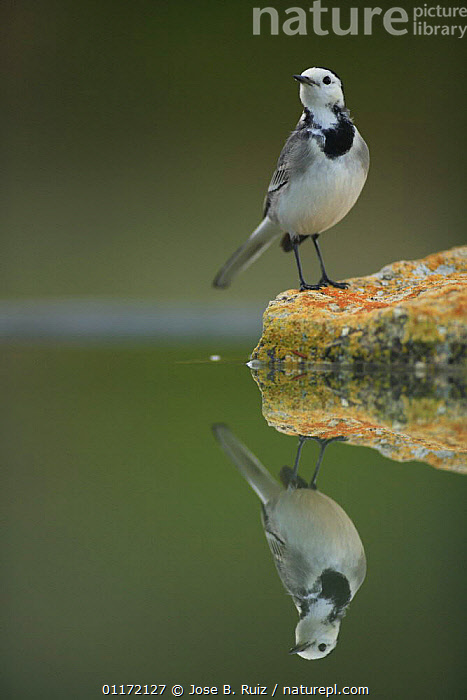 Male White wagtail {Motacilla alba alba}  at waters edge with reflection, Spain  ,  BIRDS,EUROPE,REFLECTIONS,SPAIN,VERTEBRATES,VERTICAL,WAGTAILS,WATER  ,  Jose B. Ruiz