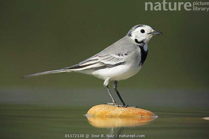 Female White wagtail {Motacilla alba alba}  standing on stone in water, Spain  ,  BIRDS,EUROPE,PROFILE,SPAIN,VERTEBRATES,VERTICAL,WAGTAILS,WATER  ,  Jose B. Ruiz