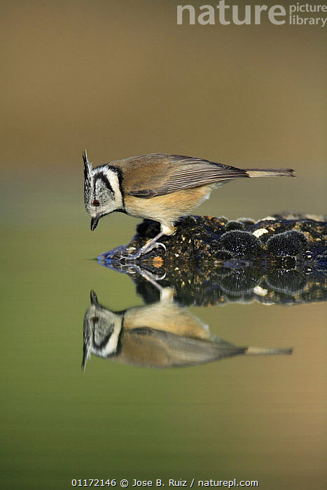 Crested tit {Lophophanes cristatus} looking at reflection in water, Spain  ,  BIRDS, EUROPE, mirror, PROFILE, REFLECTIONS, SPAIN, TITS, VERTEBRATES, WATER  ,  Jose B. Ruiz