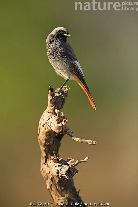 Male Black redstart {Phoenicurus ochruros} perching on branch, Spain  ,  BIRDS,EUROPE,FLYCATCHERS,SPAIN,VERTEBRATES,VERTICAL  ,  Jose B. Ruiz