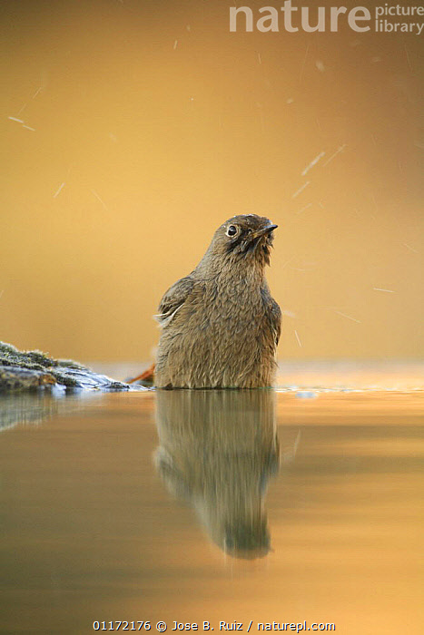 Female Black redstart {Phoenicurus ochruros} bathing in water, Spain  ,  BEHAVIOUR,BIRDS,EUROPE,FLYCATCHERS,GROOMING,REFLECTIONS,SPAIN,VERTEBRATES,VERTICAL,WASHING,WATER  ,  Jose B. Ruiz