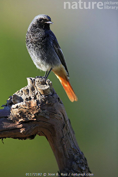 Male Black redstart {Phoenicurus ochruros} perching on branch, Spain  ,  BIRDS,EUROPE,FLYCATCHERS,PORTRAITS,SPAIN,VERTEBRATES,VERTICAL  ,  Jose B. Ruiz