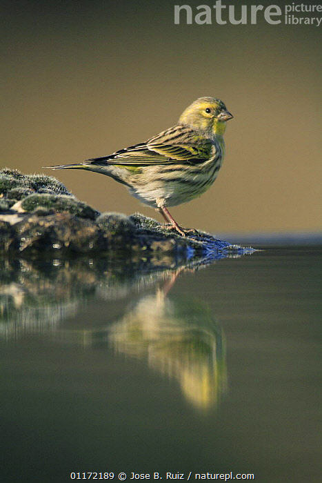 Male Serin {Serinus serinus} at water edge with reflection, Spain  ,  BIRDS,EUROPE,FINCHES,PROFILE,REFLECTIONS,SPAIN,VERTEBRATES,VERTICAL  ,  Jose B. Ruiz