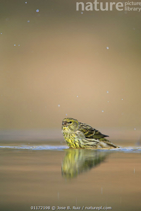Male Serin {Serinus serinus} standing in water, Spain  ,  BATHING,BIRDS,EUROPE,FINCHES,SPAIN,VERTEBRATES,VERTICAL  ,  Jose B. Ruiz