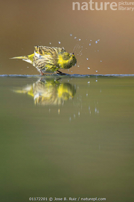 Male Serin {Serinus serinus} shaking off water at water edge, Spain  ,  BATHING,BIRDS,CLEANING,EUROPE,FINCHES,GROOMING,MOVEMENT,SPAIN,VERTEBRATES,VERTICAL,Catalogue1  ,  Jose B. Ruiz