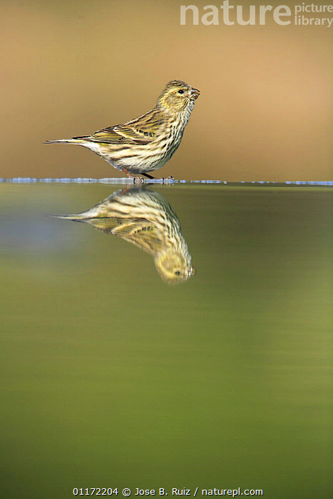 Female Serin {Serinus serinus} at water edge with reflection, Spain  ,  BIRDS,EUROPE,FINCHES,PROFILE,REFLECTIONS,SPAIN,VERTEBRATES,WATER  ,  Jose B. Ruiz