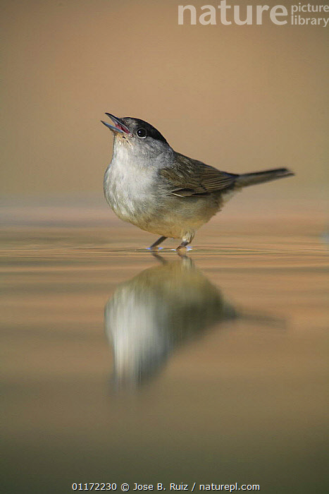 Male Blackcap {Sylvia atricapilla} calling while standing in water, Spain  ,  BIRDS,DRINKING,EUROPE,SPAIN,VERTEBRATES,VOCALISATION,WARBLERS  ,  Jose B. Ruiz