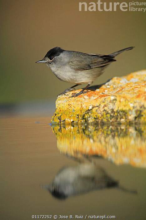 Male Blackcap {Sylvia atricapilla} perching on rock, Spain  ,  BIRDS,EUROPE,PROFILE,REFLECTIONS,SPAIN,VERTEBRATES,VERTICAL,WARBLERS  ,  Jose B. Ruiz