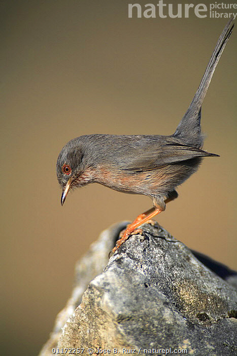 Male Dartford warbler {Sylvia undata} perching on rock, Spain  ,  BIRDS,EUROPE,PROFILE,SPAIN,VERTEBRATES,VERTICAL,WARBLERS  ,  Jose B. Ruiz