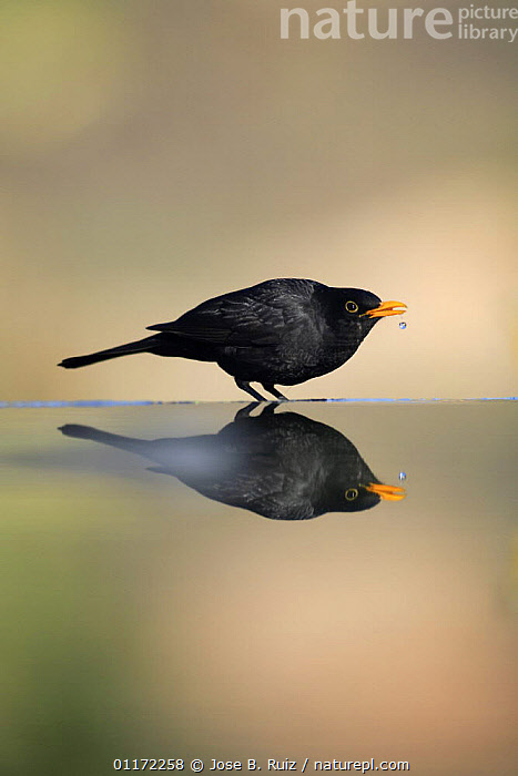 Male Blackbird {Turdus merula} drinking, Spain  ,  BIRDS,DRINKING,EUROPE,PROFILE,REFLECTIONS,SPAIN,THRUSHES,VERTEBRATES,VERTICAL  ,  Jose B. Ruiz