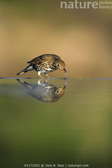 Song thrush {Turdus philomelos} drinking water, Spain  ,  BIRDS,DRINKING,EUROPE,SPAIN,THRUSHES,VERTEBRATES,VERTICAL  ,  Jose B. Ruiz