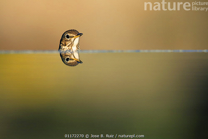 Song thrush {Turdus philomelos} head with reflection, Spain  ,  ABSTRACTS,ARTY SHOTS,BIRDS,EUROPE,HEADS,REFLECTIONS,SPAIN,THRUSHES,VERTEBRATES,WATER,Catalogue1  ,  Jose B. Ruiz