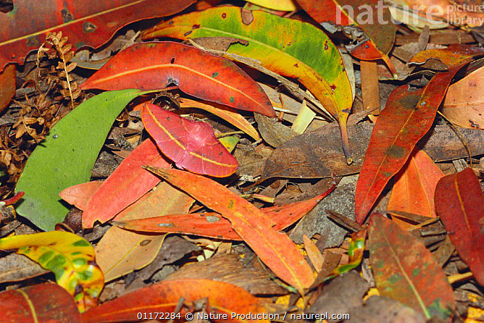 Grevillea Looper / Hakea Moth / Pink bellied moth {Oenochroma vinaria} camouflaged on fallen leaves, Japan  ,  ARTHROPODS,ASIA,CAMOUFLAGE,GREVILLEA LOOPER MOTH,INSECTS,INVERTEBRATES,JAPAN,LEAVES,LEPIDOPTERA,LOOPER MOTHS,MIMICRY,PINK BELLIED MOTH  ,  Nature Production
