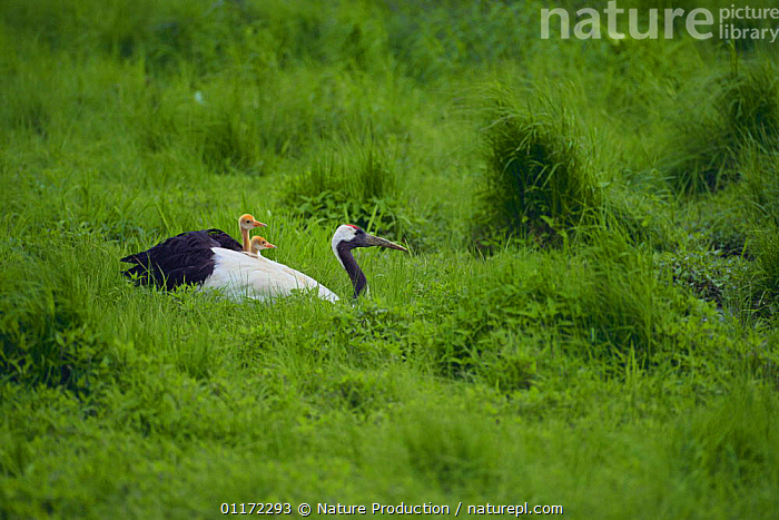 Japanese / Manchurian / Red-crowned Crane {Grus japonensis} chicks on parent's back, Hokkaido, Japan  ,  ASIA,BABIES,BIRDS,CRANES,CUTE,ENDANGERED,FAMILIES,JAPAN,VERTEBRATES  ,  Nature Production