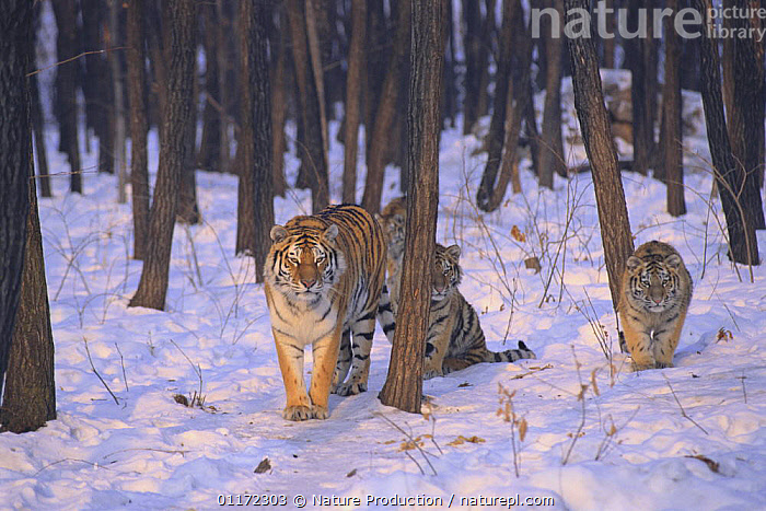 Siberian Tiger {Pantheris tigris altaica} with cubs in snow, captive, Russia  ,  ASIA,BABIES,BIG CATS,CARNIVORES,ENDANGERED,FAMILIES,MAMMALS,MOTHER,RUSSIA,TIGERS,WINTER,WOODLANDS  ,  Nature Production