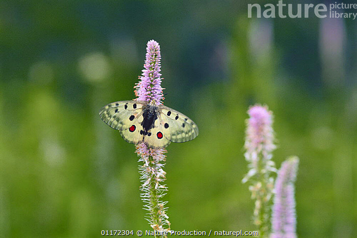 Butterfly {Parnassius nomion} on flower, Far East Russia  ,  ASIA,BUTTERFLIES,FLOWERS,INSECTS,INVERTEBRATES,LEPIDOPTERA,RUSSIA  ,  Nature Production
