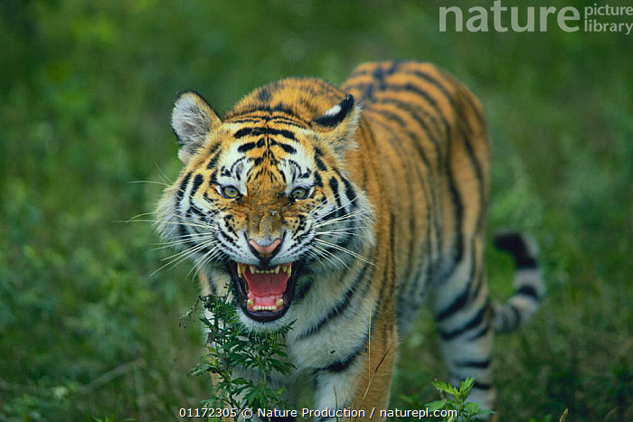 Siberian Tiger {Pantheris tigris altaica} snarling, captive, Russia  ,  AGGRESSION,BEHAVIOUR,BIG CATS,CARNIVORES,ENDANGERED,MAMMALS,RUSSIA,TIGERS,Concepts  ,  Nature Production