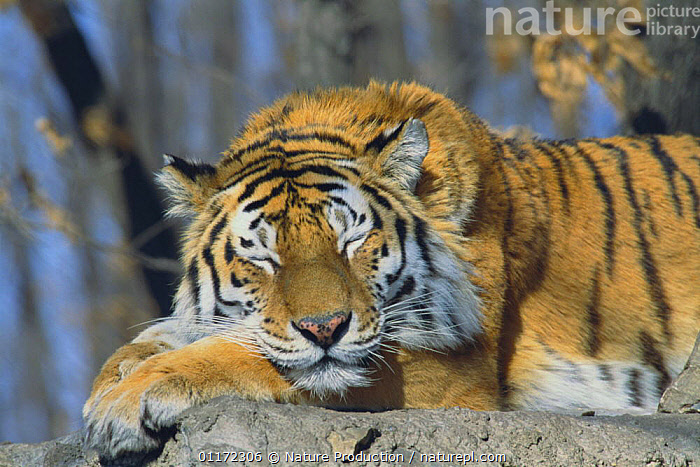 Siberian Tiger {Pantheris tigris altaica} sleeping, captive, Russia  ,  BIG CATS,CARNIVORES,ENDANGERED,MAMMALS,RESTING,RUSSIA,TIGERS  ,  Nature Production