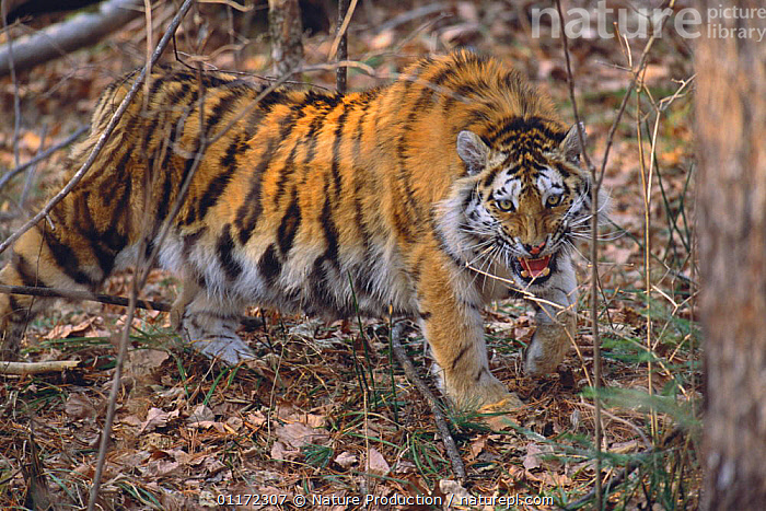 Siberian Tiger {Pantheris tigris altaica} snarling in undergrowth, Russia  ,  AGGRESSION,ASIA,BIG CATS,CARNIVORES,ENDANGERED,MAMMALS,RUSSIA,TIGERS,Concepts  ,  Nature Production