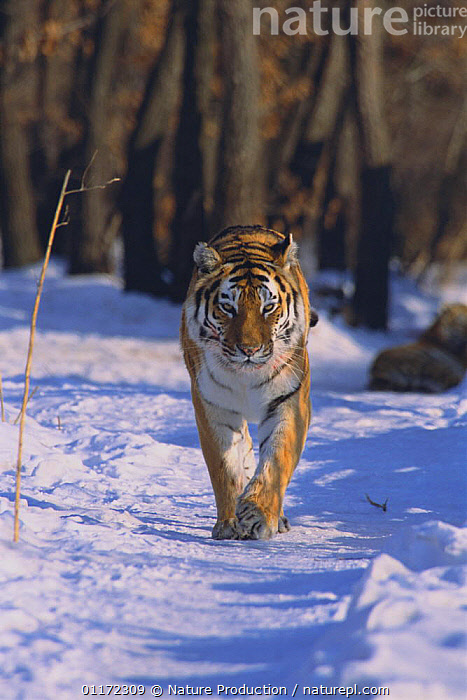Siberian Tiger {Pantheris tigris altaica} walking in snow, captive, Russia  ,  BIG CATS,CARNIVORES,ENDANGERED,MAMMALS,RUSSIA,TIGERS,VERTICAL,WINTER,WOODLANDS  ,  Nature Production