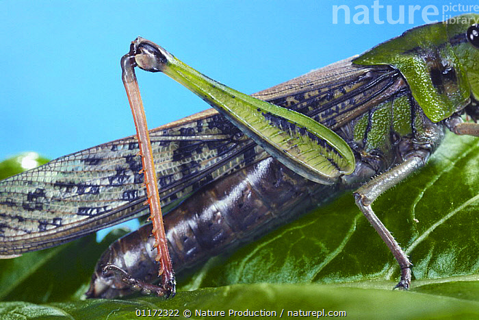 Close up of hind leg of Migratory Locust {Locusta migratoria} Japan  ,  ASIA,CLOSE UPS,GRASSHOPPERS,INSECTS,INVERTEBRATES,JAPAN,LEGS,ORTHOPTERA,SHORT HORNED GRASSHOPPERS  ,  Nature Production