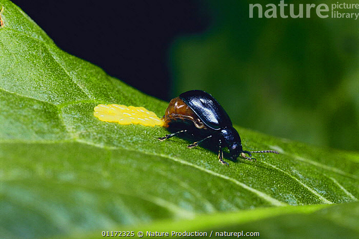 Leaf Beetle {Gastrophysa atrocyanea} laying eggs, Japan  ,  ARTHROPODS,ASIA,BEHAVIOUR,COLEOPTERA,INSECTS,INVERTEBRATES,JAPAN,LEAF BEETLES,OVIPOSITING,REPRODUCTION  ,  Nature Production