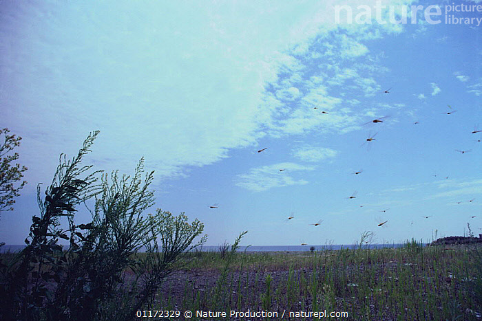 Swarm of flying Wandering Gliders / Globe skimmers {Pantala flavescens} Japan  ,  ARTHROPODS,ASIA,DRAGONFLIES,DRAGONFLY,FLYING,GLOBE SKIMMER,GROUPS,INSECTS,INVERTEBRATES,JAPAN,LANDSCAPES,ODONATA,WANDERING GLIDER  ,  Nature Production
