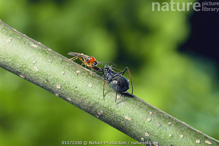 Parasitic wasp {Lysiphlebia japonica} living on aphid{Lachnus tropicalis} Japan  ,  ARTHROPODS, ASIA, BEHAVIOUR, HYMENOPTERA, ICHNEUMON WASP, INSECTS, INVERTEBRATES, JAPAN, mixed species, PARASITIC WASPS, parasitism  ,  Nature Production