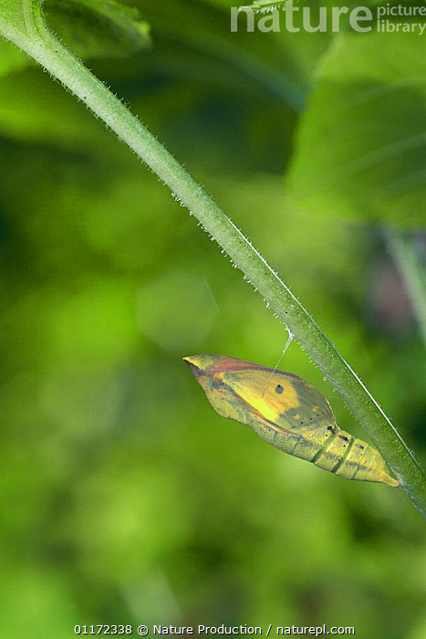 Eastern Pale Clouded Yellow {Colias erate poliographus} pupa, butterfly about to emerge, Japan  ,  ARTHROPODS,ASIA,BUTTERFLIES,CHRYSALIS,INSECTS,INVERTEBRATES,JAPAN,JAPANESE SULPHUR BUTTERFLY,LEPIDOPTERA,METAMORPHOSIS,VERTICAL,Growth,Concepts  ,  Nature Production