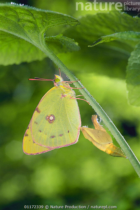 Eastern Pale Clouded Yellow {Colias erate poliographus} recently emerged from pupa, Japan  ,  ARTHROPODS,ASIA,BUTTERFLIES,CHRYSALIS,EMERGING,INSECTS,INVERTEBRATES,JAPAN,JAPANESE SULPHUR BUTTERFLY,LEPIDOPTERA,METAMORPHOSIS,VERTICAL,Growth,Concepts  ,  Nature Production
