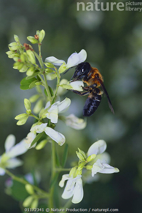 Giant resin bee {Megachile sculpturalis} sucking nectar from Bush / Japanese Clover {Lespedeza sp}, Japan  ,  ARTHROPODS, ASIA, BEES, BEHAVIOUR, FEEDING, FLOWERS, HYMENOPTERA, INSECTS, INVERTEBRATES, JAPAN, VERTICAL  ,  Nature Production