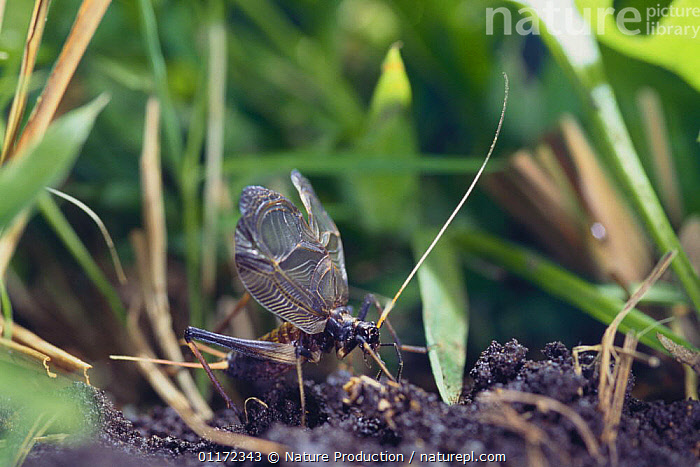 Suzumushi / Bell Cricket {Meloimorpha japonicus}male stridulating, Japan  ,  ASIA, BEHAVIOUR, CRICKETS, INSECTS, INVERTEBRATES, JAPAN, MALES, ORTHOPTERA, sound, VOCALISATION  ,  Nature Production