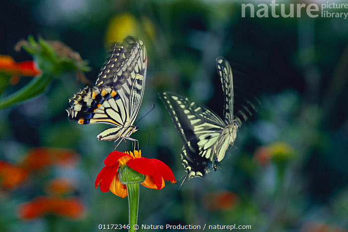 Chinese Yellow Swallowtail Butterfly {Papilio xuthus} courtship, Japan  ,  ARTHROPODS,ASIA,FLOWERS,FLYING,INSECTS,INVERTEBRATES,JAPAN,LEPIDOPTERA,MALE FEMALE PAIR,SWALLOWTAIL BUTTERFLIES  ,  Nature Production