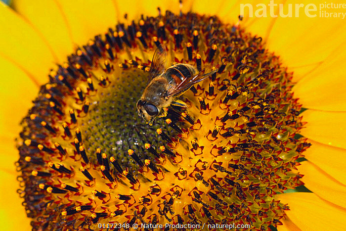 Hover /Drone fly {Eristalis tenax} feeding on Sunflower, Japan  ,  ASIA,DIPTERA,FLIES,FLOWERS,HOVER FLIES,INSECTS,INVERTEBRATES,JAPAN,POLLINATION,YELLOW , hoverflies , hoverfly  ,  Nature Production