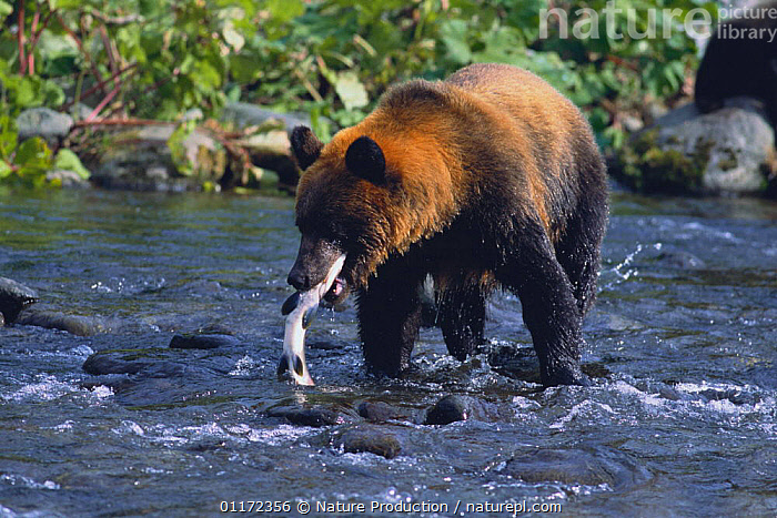 Hokkaido Brown Bear {Ursus arctos yesoensis} catching Pink Salmon {Oncorhynchus gorbuscha}Shiretoko, Hokkaido, Japan  ,  ASIA,BEARS,BEHAVIOUR,CARNIVORES,FEEDING,FISH,JAPAN,MAMMALS,RIVERS,VERTEBRATES  ,  Nature Production