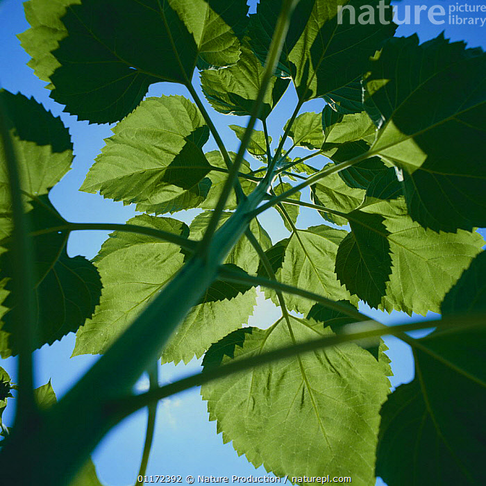 Sunflower {Helianthus annuus} leaves, lookinbg up from below, Japan  ,  ARTY,ASTERACEAE,COMPOSITAE,DICOTYLEDONS,LOW ANGLE SHOT,PLANTS ,low angle,Asia  ,  Nature Production