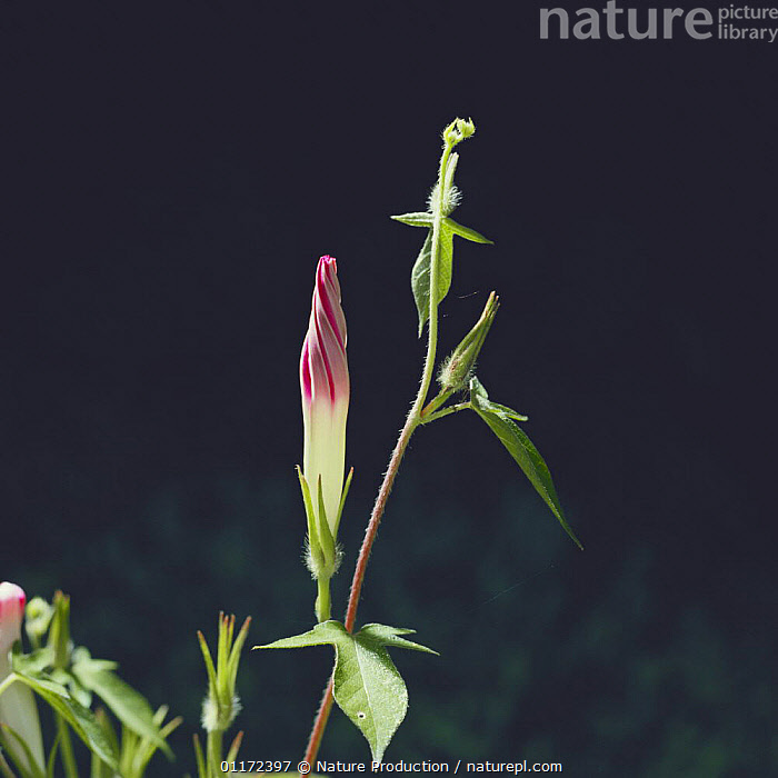 Morning Glory {Ipomoae nil} flower bud opening sequence 1/4, Japan  ,  CLIMBERS,CONVOLVULACAEA,DEVELOPMENT,DICOTYLEDONS,FLOWERS,PLANTS,Asia  ,  Nature Production