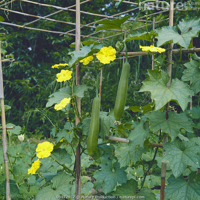 Sponge Gourd {Luffa aegyptiaca} fruits and flowers - dried and sold as loofah, Japan  ,  CLIMBERS,CUCURBITACEAE,DICOTYLEDONS,FRUIT,PLANTS,Asia  ,  Nature Production