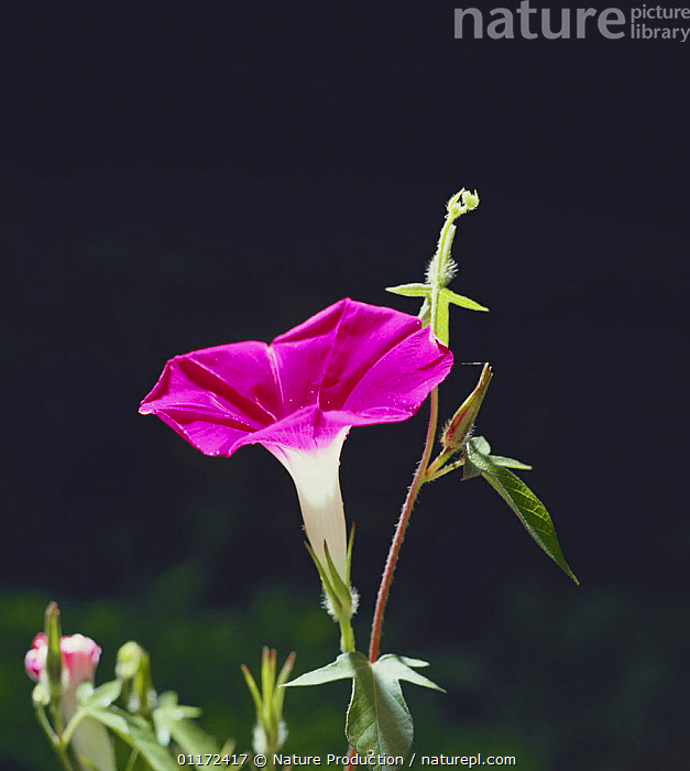 Morning glory {Ipomoea nil} flower bud opening sequence 4/4, Japan  ,  CLIMBERS,CONVOLVULACAEA,DEVELOPMENT,DICOTYLEDONS,FLOWERS,GROWTH,PLANTS,Concepts,Asia  ,  Nature Production