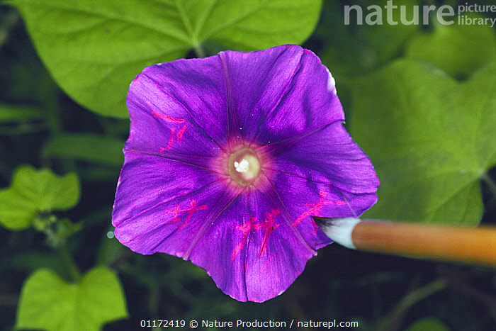 Letters written on Morning Glory flower {Ipomoea nil} with vinegar, Japan  ,  CLIMBERS,CONVOLVULACAEA,DICOTYLEDONS,FLOWERS,PLANTS,PURPLE,WRITING  ,  Nature Production
