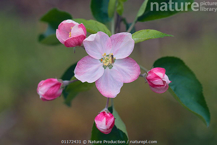 Apple blossom {Malus domestica} Japan, Apple fruition sequence 1/4  ,  ASIA, buds, DICOTYLEDONS, FLOWERS, JAPAN, PLANTS, ROSACEAE  ,  Nature Production