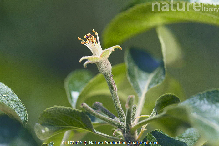 Apple {Malus domestica} fertilised flower stalk, Japan, Apple fruition sequence 2/4  ,  ASIA, DICOTYLEDONS, EDIBLE, FLOWERS, FRUIT, GROWTH, JAPAN, PLANTS, ROSACEAE,Concepts  ,  Nature Production