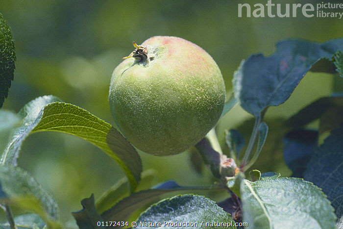Apple {Malus domestica} ripening on tree , Japan, Apple fruition sequence 4/4  ,  ASIA, DICOTYLEDONS, EDIBLE, FRUIT, GROWTH, JAPAN, PLANTS, ROSACEAE,Concepts  ,  Nature Production