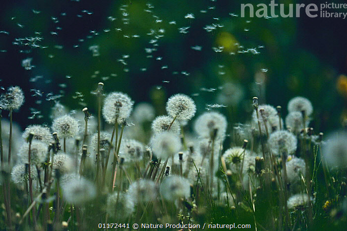 Common Dandelion {Taraxacum officinale} seeds blowing in the wind, Japan  ,  ASIA,ASTERACEAE,COMPOSITAE,DICOTYLEDONS,JAPAN,PLANTS,SEED DISPERSAL  ,  Nature Production