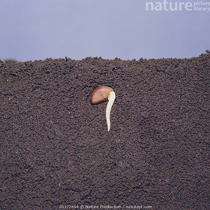 Morning glory seed {Ipomeae nil} germinating in earth, seed germination sequence 3/5, Japan  ,  ASIA,CLIMBERS,DICOTYLEDONS,GROWTH,JAPAN,PLANTS,ROOTS,Concepts  ,  Nature Production