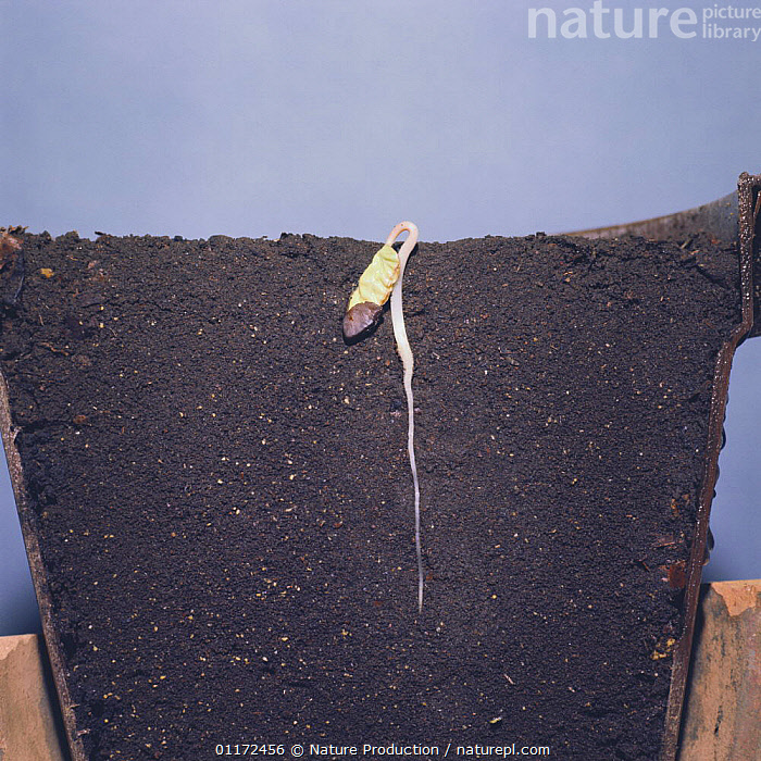 *  ,  ASIA,CLIMBERS,DICOTYLEDONS,GROWTH,JAPAN,PLANTS,Concepts  ,  Nature Production