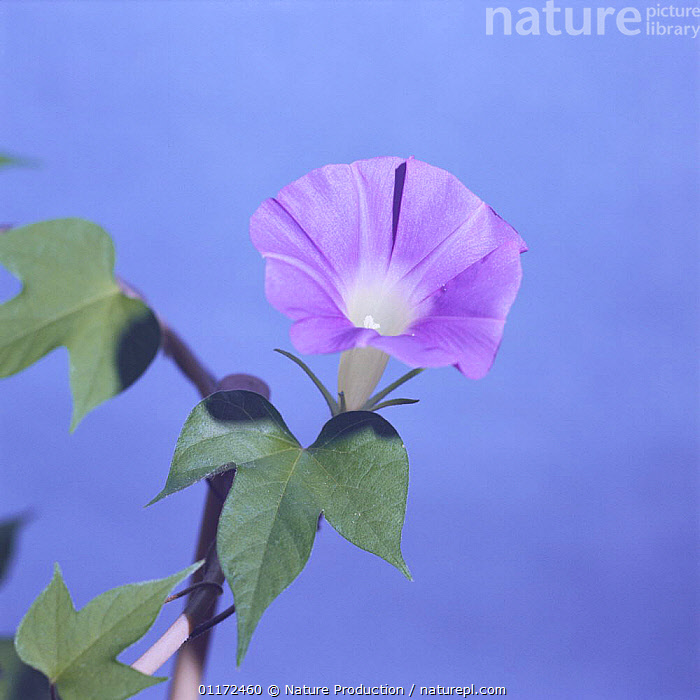 Morning glory {Ipomoea nil} flower opening sequence 8/9, Japan  ,  ASIA,CLIMBERS,CONVOLVULACEAE,DICOTYLEDONS,FLOWERS,GROWTH,JAPAN,PLANTS,Concepts  ,  Nature Production