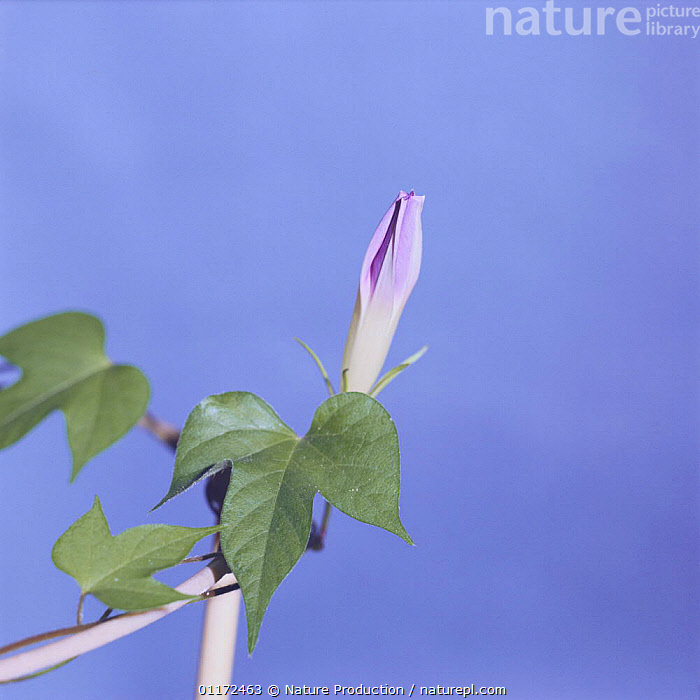 Morning glory {Ipomoea nil} flower opening sequence 2/9, Japan  ,  ASIA,BUD,BUDS,CLIMBERS,CONVOLVULACEAE,DICOTYLEDONS,FLOWERS,GROWTH,JAPAN,PLANTS,Concepts  ,  Nature Production