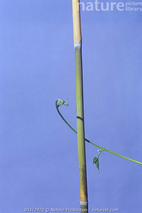 Morning glory {Ipomoea nil} tendril of vine growing around vertical stem, 1hr 10mins later, sequence 3/7, Japan  ,  ASIA,CLIMBERS,DICOTYLEDONS,ENTWINED,FLOWERS,GROWTH,JAPAN,PLANTS,TENDRILS,VERTICAL,Concepts  ,  Nature Production