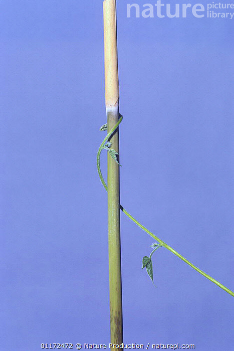 Morning glory {Ipomoea nil} tendril of vine growing around vertical stem, 4hrs 15mins later, sequence 5/7, Japan  ,  ASIA,CLIMBERS,CONVOLVULACAEA,DICOTYLEDONS,ENTWINED,GROWTH,JAPAN,PLANTS,TENDRILS,VERTICAL,Concepts  ,  Nature Production